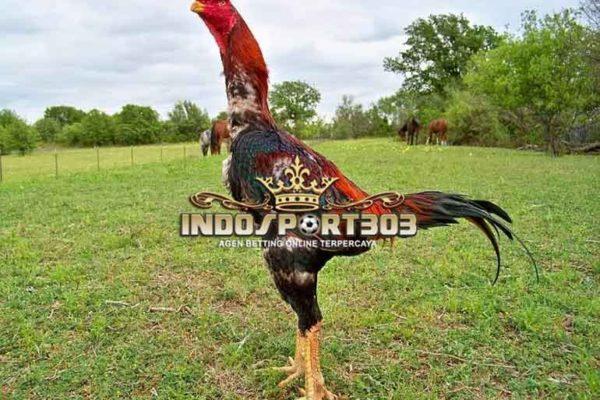 ciri khas ayam shamo, ayam petarung, ayam aduan, jepang, ciri khas, jenis, kelebihan