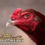 Katuranggan Kepala Ayam Bangkok Juara