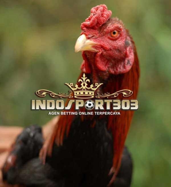 katuranggan kepala ayam bangkok, ciri khas, kelebihan, bentuk kepala, ayam bangkok, ayam petarung, ayam aduan