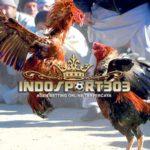 Kecurangan Dalam Dunia Sabung Ayam