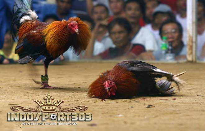 kecurangan dalam dunia sabung ayam, ayam bangkok, ayam petarung, ayam aduan