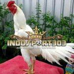 Mitos Ayam Bangkok Kinantan Menurut Botoh Tua