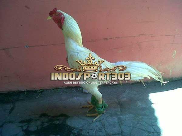 mitos ayam bangkok kinantan, ayam bangkok putih, ayam petarung, ayam aduan, ciri khas, kelebihan, mistis