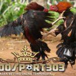 Tips Cepat Rawat Luka Ayam Aduan