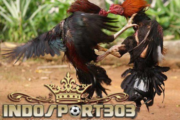 tips cepat, perawatan, luka, ayam bangkok, ayam aduan, ayam petarung, cara, metode, obat, ramuan