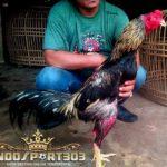 Kelebihan Ayam Bangkok Teknik Brakot