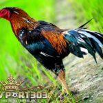 Ciri Ayam Bangkok Kelas Berat
