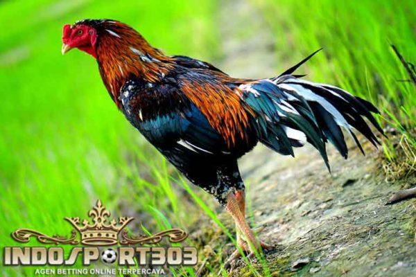 ayam bangkok kelas berat, ciri khas, ayam bangkok, ayam aduan, ayam petarung, kelas berat, bobot