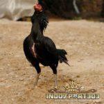 Cara Memilih Pacek dan Babon Ayam Bangkok Terbaik