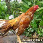 Ciri Ayam Pukulan Keras