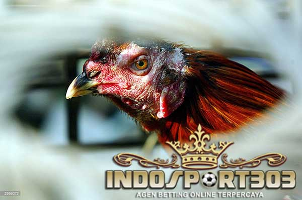 ciri ayam pukulan keras, ayam bangkok, ayam aduan, ayam petarung, ayam laga, ciri ayam