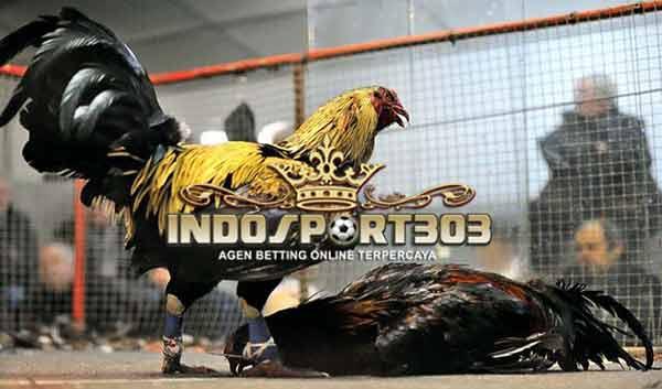 jenis pukulan, ayam aduan, ayam petarung, ayam bangkok, ayam birma, jenis, kelebiham, teknik bertarung