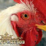 Tips Memperkuat Patukan Paruh Ayam Bangkok