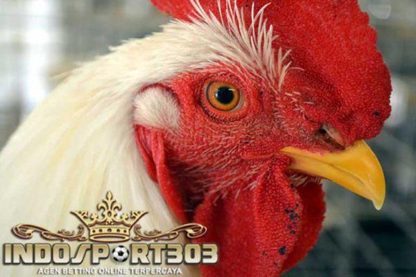 tips memperkuat patukan, paruh, ayam bangkok, ayam aduan, ayam petarung, tips, cara ampuh