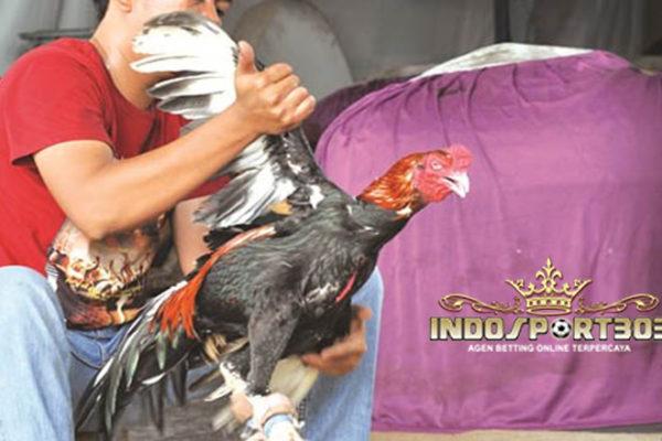 Merawat Dan Melatih Ayam Bangkok, Agen Sabung Ayam, Sabung Ayam Online, Agen Sabung Ayam Online, Agen Bola Online, Agen Betting Online