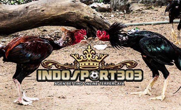 agen sabung ayam, sabung ayam online, agen sabung ayam online, indosport303.com