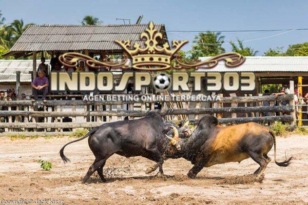 adu banteng, adu banteng online, indosport303.com