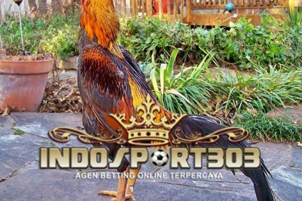 cara melatih, ayam aduan, sabung ayam, sabung ayam online, agen sabung ayam, agen sabung ayam online, agen betting terpercaya, indosport303.com