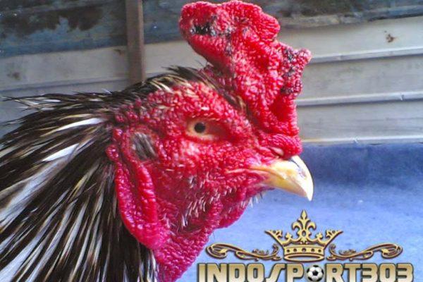 jengger ayam, jengger ayam bangkok, ayam bangkok, sabung ayam online, agen sabung ayam online, agen sabung ayam, jengger