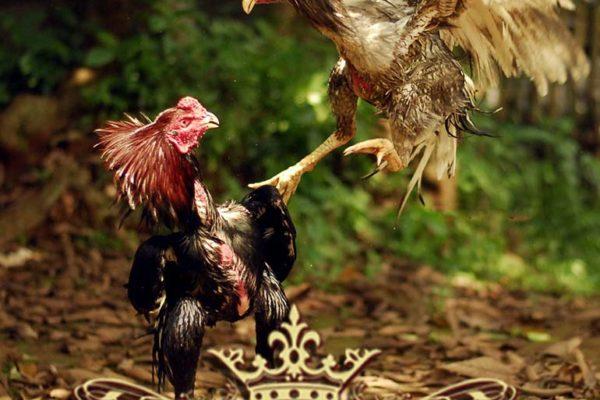 ayam bangkok kuda lari, ayam saigon, ayam birma, sabung ayam online, agen sabung ayam online, agen betting online, agen betting terpercaya