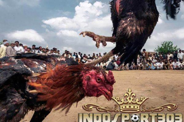 ayam bangkok, gaya bertarung, teknik, tips, ayam petarung, ayam laga
