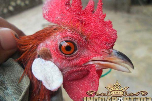 ayam bangkok, sabung ayam, sabung ayam online, agen sabung ayam, agen sabung ayam online
