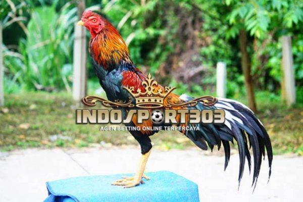 ayam petarung, ayam brazil, ayam bangkok, ayam laga, ayam aduan, ciri khas, kelebihan, kekurangan