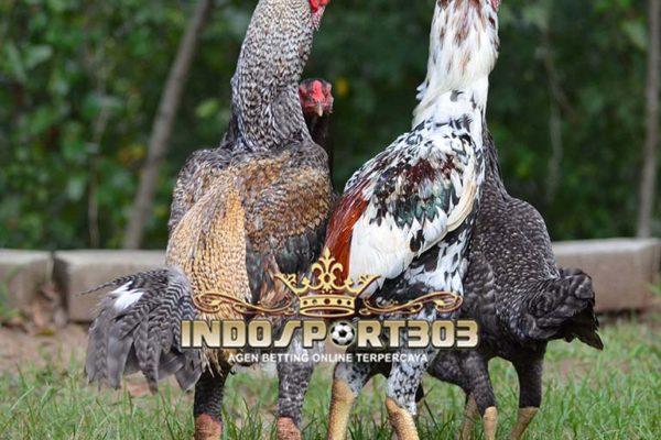ayam shamo jepang, sabung ayam, sabung ayam online, agen sabung ayam online, indosport303.com