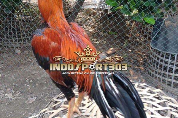 cara memilih ayam aduan, ayam bangkok, sabung ayam online, agen sabung ayam, indosport303.com
