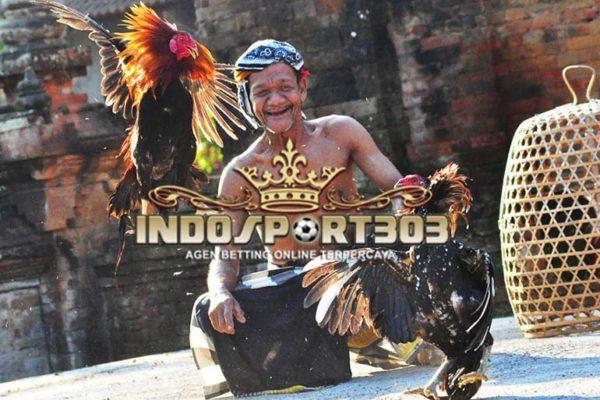 taji ayam, jalu, sabung ayam, sabung ayam online, agen betting terpercaya, agen betting online, indosport303.com