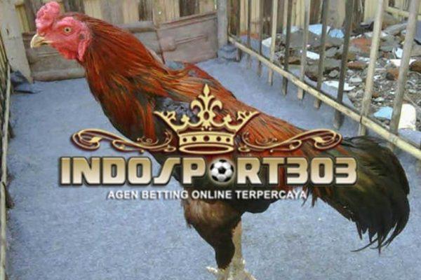 ayam bangkok, bronggal, ciri khas