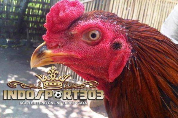ayam bangkok, muka, badan, merah, cara, tips