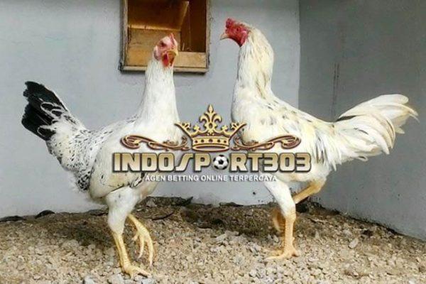 ayam bangkok, ayam gaok, madura, ayam aduan, ayam petarung