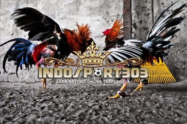 ayam bangkok, ayam laga, ayam aduan, teknik bertarung, adu ayam, laga ayam