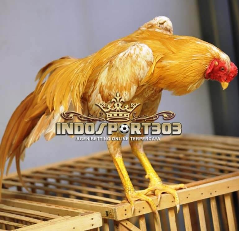 Keunggulan Ayam Bangkok Wangkas Emas