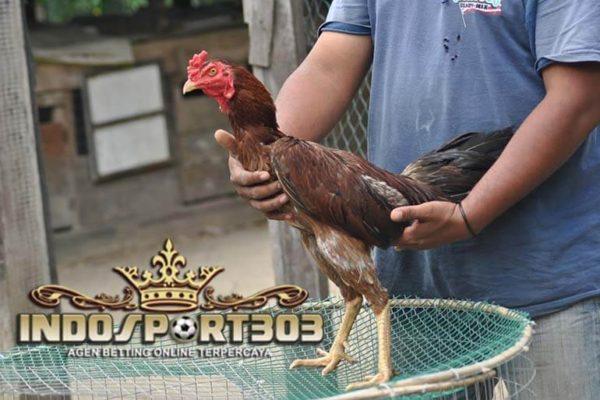 ayam pama gostan, ayam bangkok, ayam petarung, ayam pama, ciri khas, kelebihan