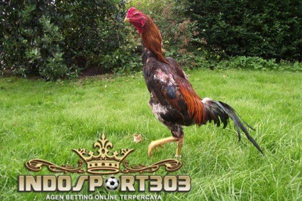 ayam shamo, ciri khas, kelebihan, kekuatan