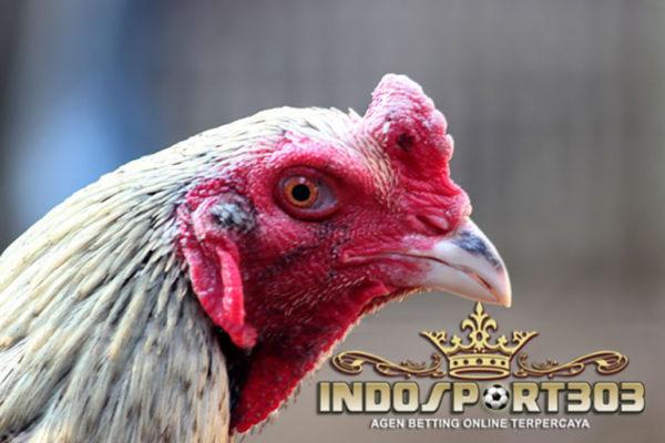 tips, merawat ayam birma, ciri khas, kelebihan, cara