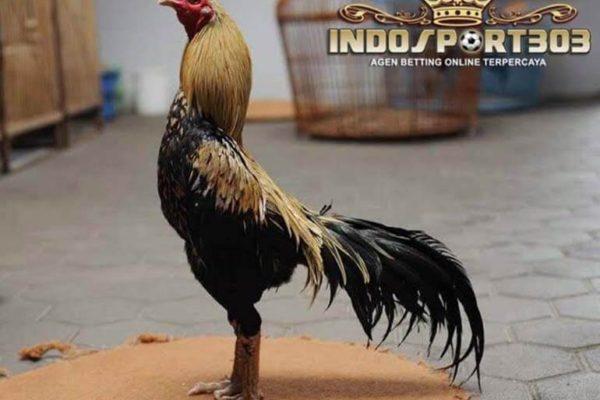 kelebihan pama gostan, ayam petarung, ayam aduan, ayam pama, ciri khas, kelebihan