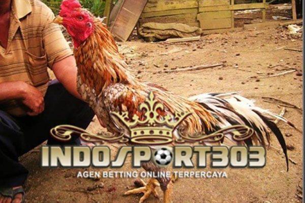 ketangguhan ayam bangkok, ciri khas, kelebihan, ayam petarung