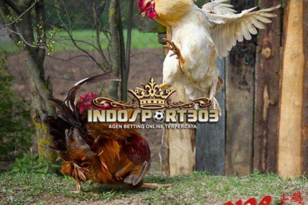 teknik bertarung, ayam bangkok, ayam petarung