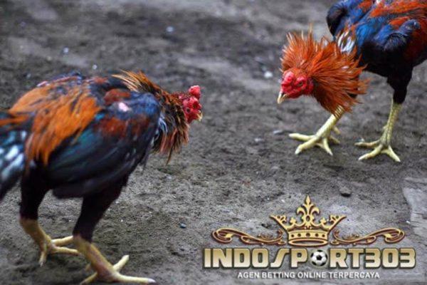 ayam bangkok agresif, tips, cara, ayam petarung