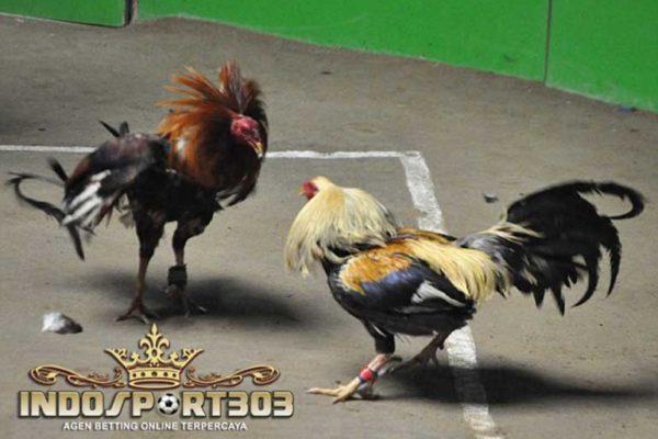 jangan lakukan hal ini pada ayam aduan anda, ayam bangkok, ayam petarung, ayam laga, larangan, melatih ayam bangkok
