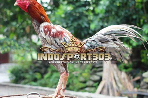 kelebihan ayam bangkok klawu, ayam bangko, ayam petarung, ayam aduan, jenis, kelebihan, ciri khas