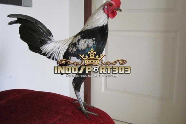 ayam petarung, ayam aduan, jenis ayam birma, kelebihan, ciri khas